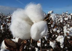 Países africanos modernizam produção de algodão
