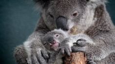 Mother and baby Koalas.