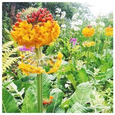 Primula Bulleyana coming into bloom in our bog garden.  #primula #primulabulleyana #flowers #boggarden #garden #gardening #nature #flowers #photography #orangeflowers Gardening, Photo And Video, Orange, Nature, Flowers, Plants, Photography, Instagram, Naturaleza