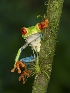 Red-Eyed Leaf Frog  by Maurício Soares on 500px
