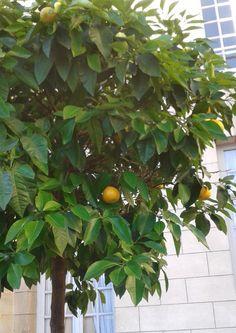 A Malmaison poussent aussi des fruits...