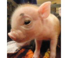 Tiny baby pig.  :)