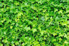Hera - nome cientifico: Hedera helix. É uma planta de textura semi-lenhosa que tem características de trepadeiras. As folhas são simples, verde escuras brilhantes, que podem ser variegadas de branco, prata ou amarelo, de acordo com as variedades. Produz pequenas flores amarelo-esverdeadas, com pouca importância ornamental, mas que atraem borboletas e abelhas na primavera. A hera deve ser cultivada sob sol pleno ou meia-sombra, em solo fértil e drenável, enriquecido de matéria orgânica…