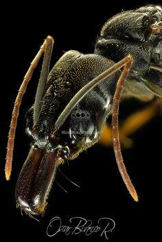 Trapjaw Ant Odontomachus Bauri close-up Costa Rica