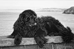 Newfoundland Dog- I want a brown one, but the black I would still take any day :)