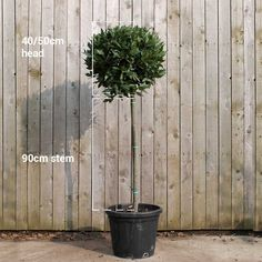 Bay Laurel Lollipop topiary trees from UK experts Stunning standard Bay trees for contemporary garden design. Topiary Plants, Topiary Trees, Bay Laurel Tree, Laurel Hedge, Laurus Nobilis, Contemporary Garden Design, Formal Gardens, Garden Borders, Plant Species
