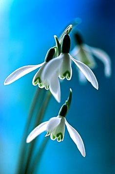 Snowdrops by Andy Small. One of my favorite flowers.