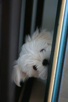 Maltese doggies are sooo cute!! missing my Polo.... :(