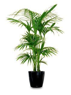 Hawaiian Warneckii Cane from Houston Interior Plants | Living Room ...