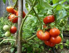 Díky tomuto domácímu přírodnímu hnojivu rostou moje rajčata a okurky rychleji a nejsou napadeny žádnou nemocí! - Growing Plants, Indoor Plants, Garden Landscaping, Health And Beauty, Planting Flowers, Stuffed Mushrooms, Gardening, Landscape, Vegetables