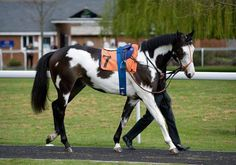 """""""Modern Society"""" a 3 y-o registered TB racing in the UK. He is a rare skewbald painted thoroughbred, he's one of only three painted racehorses in Britain.  (Horsetalk Photos)"""