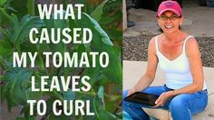 Tomato Leaf Curl  - Tomato Leaf Problems - Extreme Arizona Heat Curled M...