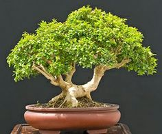 Bonsai is generally a tree or plant that has actually been kept smaller sized than its typical size. The technique to making a bonsai plant is to frequently prune the tree every spring Bonsai Tree Care, Bonsai Tree Types, Indoor Bonsai Tree, Bonsai Plants, Bonsai Garden, Bonsai Trees, Bonsai Forest, Compost, Boxwood Bonsai
