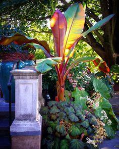Banana tree love from my last visit to @chanticleergarden - Ensete ventricosum 'Maurelii' - beautiful colors! . . #chanticleer #philadelphia #bananatree #gardening #gardens #containergardening #red #orange #banana