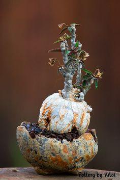 "Euphorbia suzannae-marnierae, 3"" pot, by Keith Kitoi Taylor"