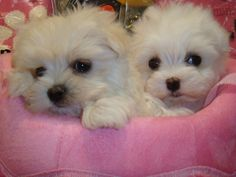 Teacup Maltese Puppies Maltese cutties- check Maltese dog lover gifts