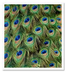 Peacock's Feathers
