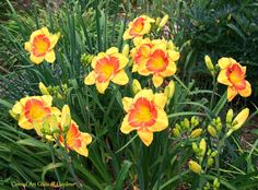 daylily seedling from a friend