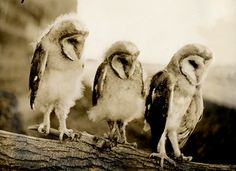 Young Barn Owls By Bill Doherty