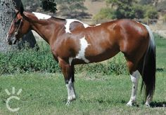 Mare owned by Shining C Grulla Horses