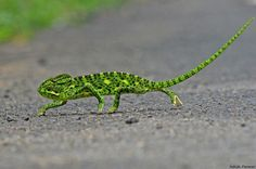 Chameleon. Photo copyright Ashish Parmar, India Nature Watch.