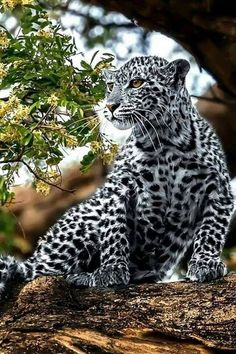 A beautiful specimen of Afghan Leopard - Tiere - Animals Majestic Animals, Rare Animals, Cute Baby Animals, Animals And Pets, Funny Animals, Strange Animals, Big Cats, Cats And Kittens, Cute Cats