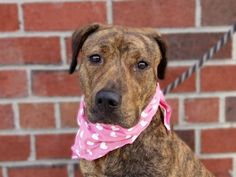 TO BE DESTROYED - 08/08/14 TO BE DESTROYED - 08/05/14 Brooklyn Center -P My name is ROSE PETAL. My Animal ID # is A1008464. I am a female br brindle and white pit bull mix. The shelter thinks I am about 1 YEAR I came in the shelter as a OWNER SUR on 07/29/2014 from NY 11236, owner surrender reason stated was NO TIME. https://www.facebook.com/Urgentdeathrowdogs/photos/a.611290788883804.1073741851.152876678058553/847255008620713/?type=3&theater