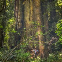 """The Sequoia sempervirens (Coast Redwood) named """"Chesty"""" Puller in the Grove of Titans in Jedediah Smith Redwoods State Park  in California, United States. Quelle: Facebook"""