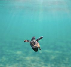 The baby turtles are so cute! Cute Creatures, Sea Creatures, Beautiful Creatures, Animals Beautiful, Baby Sea Turtles, Cute Turtles, Cute Baby Animals, Animals And Pets, Funny Animals