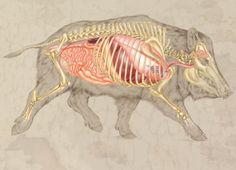 Internal and skeletal anatomy of the boar. Art created by Laurie O'Keefe Wild Boar Hunting, Hog Hunting, Hunting Guide, Hunting Baby, Crossbow Hunting, Hunting Drawings, Hunting Tattoos, Wild Boar Image, Animal Paintings