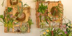 Staghorn ferns, tillandsias, orchids and other airoids. Dig Gardens, Outdoor Gardens, Indoor Gardening, Succulent Arrangements, Succulents, Succulent Ideas, Staghorn Fern, Weekend Projects, Nature Decor