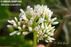 CLIMBING HEMPVINE (Mikania scandens)   What Florida Native Plant Is Blooming Today?™ 0514