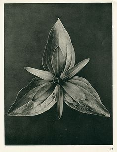 Karl Blossfeldt Photogravures Urformen der Kunst I can feel a Karl collection coming on because his images are so strong. Karl Blossfeldt, Botanical Illustration, Botanical Prints, Parts Of A Plant, Gcse Art, Seed Pods, Natural Forms, Black And White Photography, Art Photography