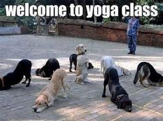 "Welcome To Yoga Class : DOGS - Also Known As ""Doga"" - Funny Animal Pictures With Captions - Very Funny Cats - Cute Kitty Cat - Wild Animals - Dogs"