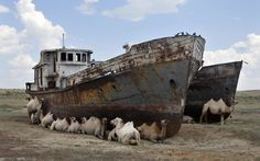 camels in the shade of abandoned ships