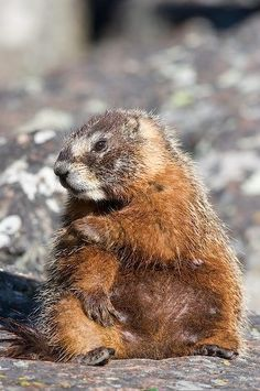 Yellow Bellied Marmot (not my pic)
