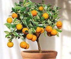 Bonsai citronnier