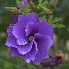 Blue Hibiscus Native Australia