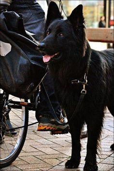 Melanistic Wolf--A hybrid of this and a German Shepherd would be