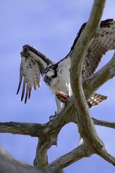 Osprey - West Coast Florida