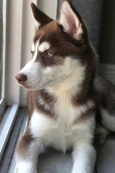Huskies are awesome dogs! Enjoy these Cute Husky Puppies and wicked dogs while learning some awesome Siberian Husky facts and FAQs. Brown Husky Puppy, Cute Husky Puppies, Baby Puppies, Huskies Puppies, Cute Baby Dogs, Cute Baby Animals, Husky Dog Names, Husky Facts, Siberian Husky Dog