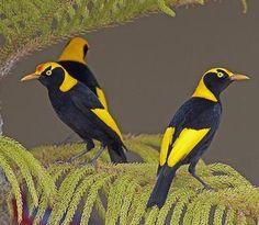 Male Regent Bowerbirds (Sericulus chrysocephalus)