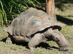 Harriet, the giant tortoise, was allegedly taken from the Galapagos Islands by Charles Darwin himself. Red Footed Tortoise, Giant Tortoise, Tortoise Turtle, Sulcata Tortoise, Tortoise Care, Largest Sea Turtle, Kawaii Turtle, Turtle Habitat, Pet Turtle