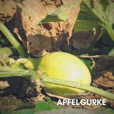 **WACHSKÜRBIS Saatgut exotische Pflanzen Samen Garten Sämereien Balkon Terrasse