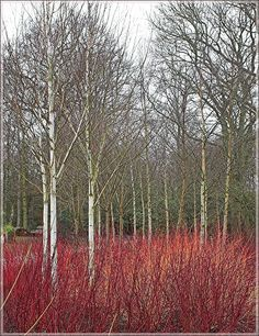 The range of Dogwood colours, with the tall white birch trees, make a fine display in the RHS gardens. Back Gardens, Outdoor Gardens, White Birch Trees, Deco Floral, Woodland Garden, Garden Landscape Design, Natural Garden, Garden Trees, Plantation