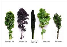 Kale is a very diverse and nutrient-rich vegetable. In fact, there are many different types, and it ranges in color from green to purple with smooth or curly textures. | How Kale Went From A Gross Garnish To A Pop Culture Icon, One Salad At A Time