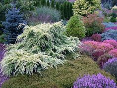 I think the white-variegated weeping tree is Deodara 'Snow Sprite' or similar cultivar? Blooming heathers in the photo too. Evergreen Landscape, Evergreen Garden, Garden Trees, Garden Plants, Landscape Design, Garden Design, Baumgarten, Sloped Garden, Trees And Shrubs