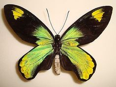 Ornithoptera  http://www.collector-secret.com/index.php/top-auctions/
