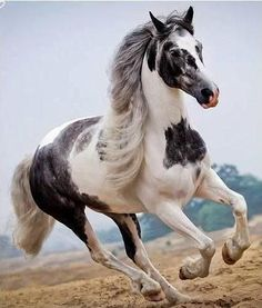 Gorgeous Pinto horse running.