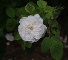 MME HARDY - Old Fashioned large fragrant flowers vigorous